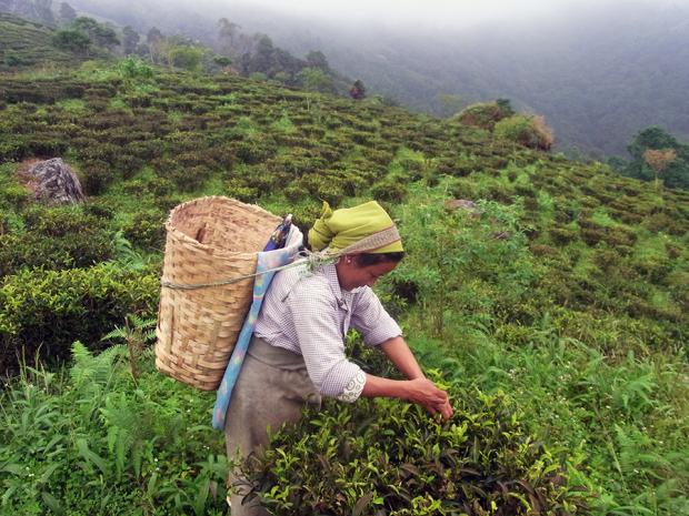ダージリンの茶畑での茶摘み風景