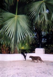 インドの野良猫