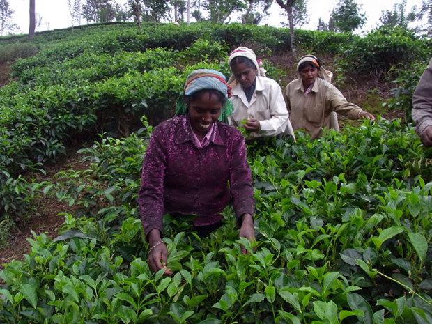 世界的に有名なヌワラエリアの茶畑