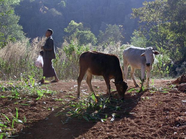 ミャンマー 牛が休めば人も休む