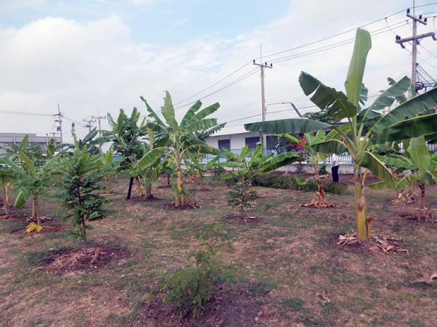 今も植えられているバナナ