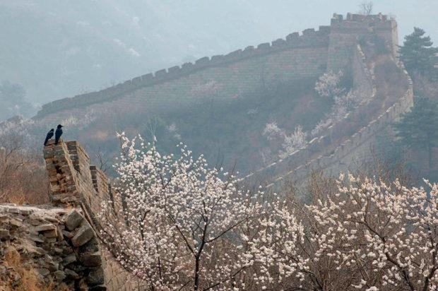 崩れた長城壁にとまる野鳥と杏の花。慕田峪には未修復の原始の長城が残っている