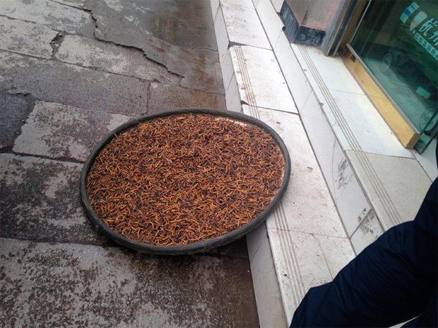 金より高価な冬虫夏草。これが選り分けられカプセルに詰められて高級な木箱に収まる(撮影/筆者)