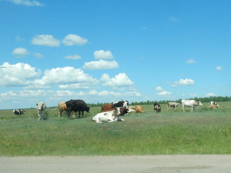 牛の放牧風景