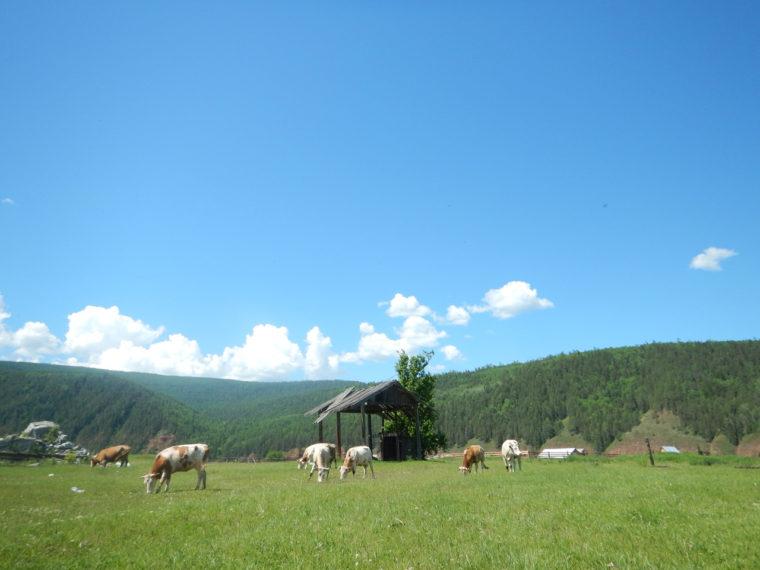 村で放牧されている牛、奥には森林を伐採した跡が見える