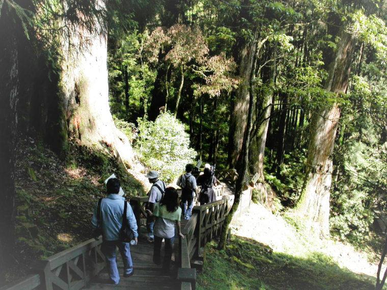 巨木が連なる阿里山の原生林(筆者撮影)
