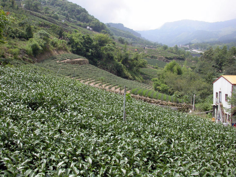 丘陵地に茶畑が続くタッパン集落(筆者撮影)